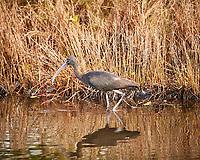 Glossy Ibis. Black Point Wildlife Drive, Merritt Island National Wildlife Refuge. Image taken with a Nikon D3s camera and 80-400 mm VR lens (ISO 200, 400 mm, f/5.6, 1/60 sec).