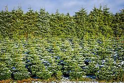 Christmas trees growing on a farm in South Lanarkshire<br /> <br /> (c) Andrew Wilson   Edinburgh Elite media