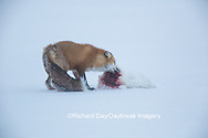 01871-02819 Red Fox (Vulpes vulpes) eating Arctic Fox (Alopex lagopus) at Cape Churchill, Wapusk National Park, Churchill, MB
