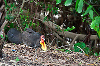 Australian Brush Turkey scratches around.