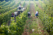 Grape harvest in the Balaton vineyards - Balaton-Fely, Hungary .<br /> <br /> Visit our HUNGARY HISTORIC PLACES PHOTO COLLECTIONS for more photos to download or buy as wall art prints https://funkystock.photoshelter.com/gallery-collection/Pictures-Images-of-Hungary-Photos-of-Hungarian-Historic-Landmark-Sites/C0000Te8AnPgxjRg .<br /> <br /> Visit our HUNGARY HISTORIC PLACES PHOTO COLLECTIONS for more photos to download or buy as wall art prints https://funkystock.photoshelter.com/gallery-collection/Pictures-Images-of-Hungary-Photos-of-Hungarian-Historic-Landmark-Sites/C0000Te8AnPgxjRg