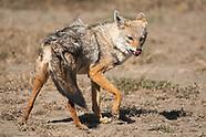 Black-backed Jackal, Canis mesomelas,