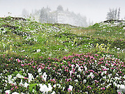 Late summer snowfall on blooming alpine flowers in Glacier Peak Wilderness, Washington.