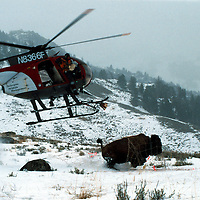 BisonIssues16-A crew from Helicopter Wildlife Management uses a helicopter to net capture a bison in Yellowstone National Park. They radio collar and test the bison as part of a brucellosis study of Yellowstone bison. 3/98