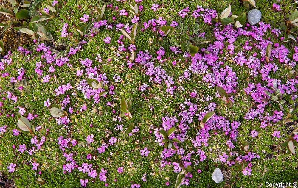 Moss campion (Silene acaulis) at Sunshine Village/ Alpine meadow. CAnadina Rocky Mountains<br />