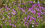 Moss campion (Silene acaulis) at Sunshine Village/ Alpine meadow. CAnadina Rocky Mountains<br />Adjacent Banff National Park<br />British Columbia<br />Canada