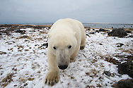 Polar bear from ground level in early winter at Seal River Lodge.