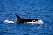 Orcas, San Juan Island, Washington State