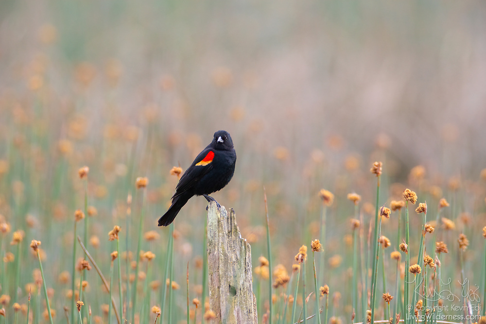 A red-winged blackbird (Agelaius phoeniceus), surrounded by flowering grasses, rests on a stump in the Edmonds Marsh in Edmonds, Washington.