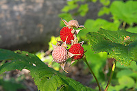 The thimbleberry is one of those often overlooked, highly under-appreciated wild berries that deserves a lot more credit than it gets. Found in all of the western states, and Canadian provinces and all around the Great Lakes, both in the United States and Canada the humble thimbleberry is considered by many to be superior than any raspberry. It is easily recognized in the wild by its large, papery maple-shaped leaves and completely thornless stalks. The tart, intensely fruity, high in Vitamin C berries are used to make some of the best jellies, and are often added to other berries such as blueberries, blackberries and raspberries to kick up the sweetness and flavor. These were found growing above Lake McDonald in Montana's Glacier National Park.