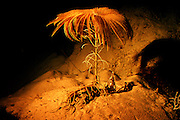UNDERWATER MARINE LIFE CARIBBEAN, Grand Cayman Research submersible dive 800' deep, crinoids, rare deep-water sea lily