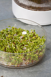Sprouted seeds