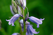 Bluebells growing, England