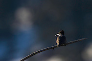 Belted Kingfisher, Ashton, Idaho
