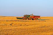Unloading wheat (var. Infinity) into grain cart<br /> north of Grenfell<br /> Saskatchewan<br /> Canada