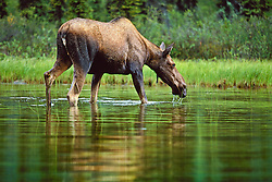 Moose feeds in the Peel River watershed