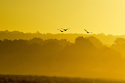 © Licensed to London News Pictures. 02/11/2016. Richmond, UK. Canadian Geese fly in the sunset. Deer in the frost in Richmond Park London today 2nd November 2016. much of the country experienced a frost overnight. Photo credit : Stephen Simpson/LNP