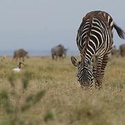 Grazing zebra and gnu in the Ambosli national park, Kenya.