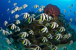 A dense gathering of schooling bannerfish, Heniochus diphreutes, surround a small bommie at Johnny's Gorge, Andaman Islands, India, Andaman Sea