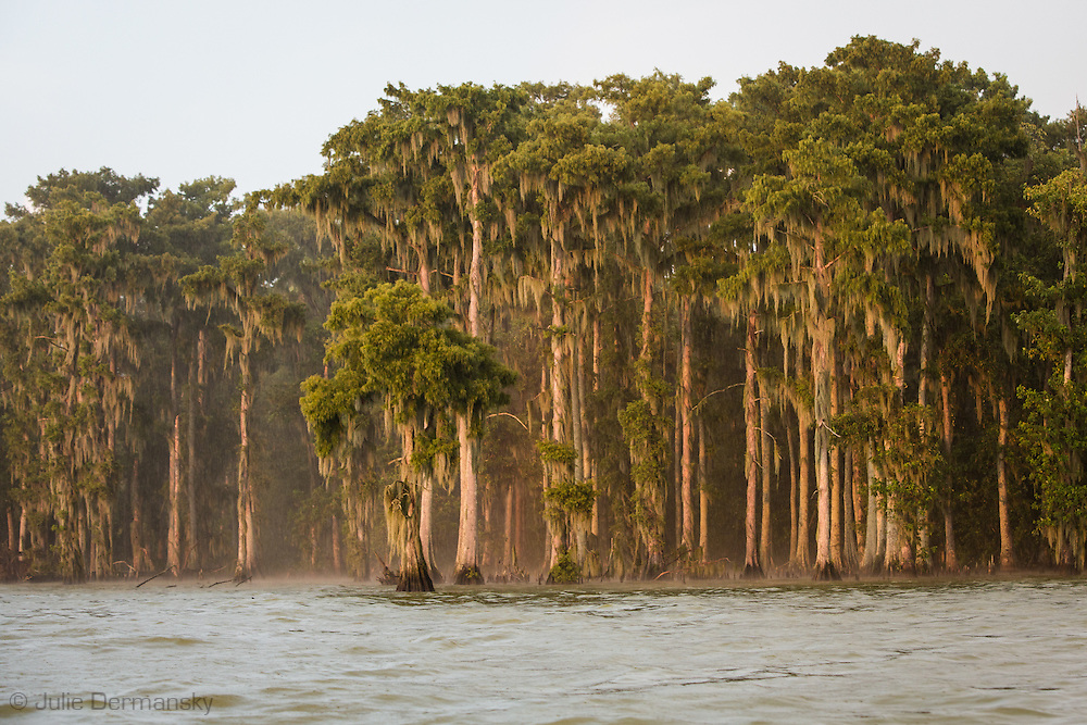 Cypress trees along the bank of Lake Verret, a brackish tidal estuarine sytem is South Louisiana.