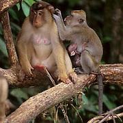 Pig-tailed Macaque, (Macaca nemestrina) And  Long-tailed Macaque, (Macaca fascicular) grooming.Malaysia