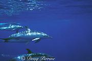 short-beaked common dolphins, Delphinus delphis, swimming underwater, Azores Islands, Portugal ( North Atlantic Ocean )