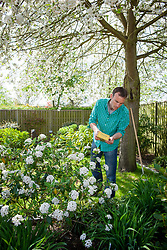 Feeding a viburnum with granular fertiliser in spring