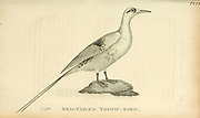 Red-Tailed Tropic bird (Tropicbird) (Phaethon rubricauda) from the 1825 volume (Aves) of 'General Zoology or Systematic Natural History' by British naturalist George Shaw (1751-1813). Shaw wrote the text (in English and Latin). He was a medical doctor, a Fellow of the Royal Society, co-founder of the Linnean Society and a zoologist at the British Museum. Engraved by Mrs. Griffith