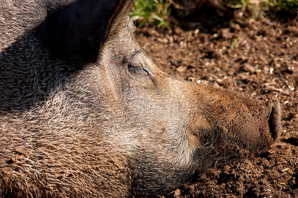 Tamworth pig at the Cotswold Farm Park at Guiting Power in the Cotswolds, Gloucestershire, UK