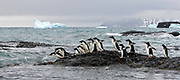 A flock of Adelie Penguins (Pygoscelis adeliae) and a few Gentoo Penguins (Pygoscelis papua) jump into the ice-cold water of Brown Bluff (Tabarin Peninsula in the Antartctic Sound) to feed
