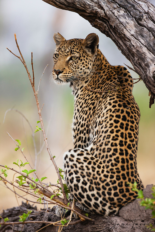 A leopard turns to look behind (Panthera pardus) while posing on a log at sunrise, portrait, Khwai River, Botswana