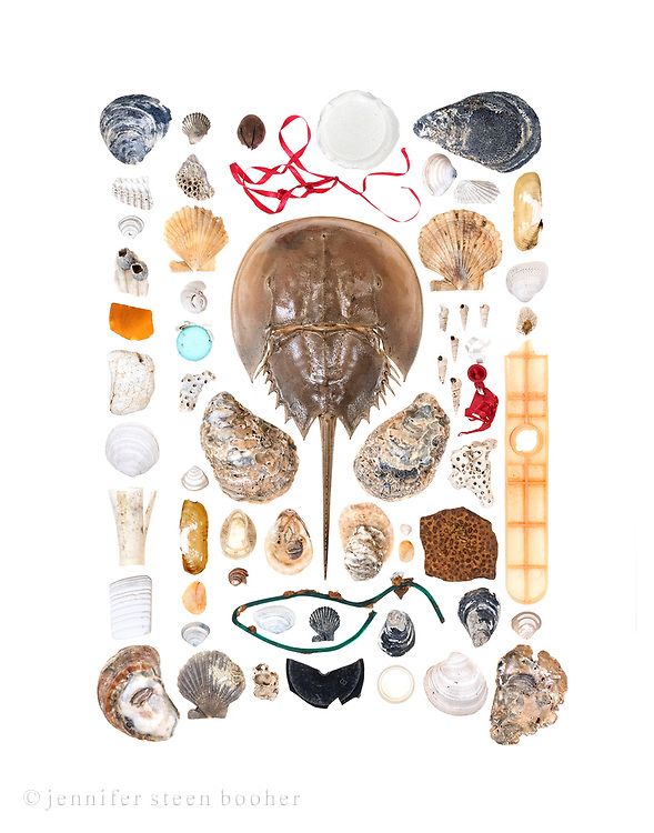 top to bottom, left to right<br /> all fossils are Miocene era<br /> <br /> Row 1: fossil oyster, fossil clam fragment, fossil clam (Astarte sp.), fossil scallop fragment with barnacles, sea glass, styrofoam, fossil clam (Glycymeris sp?, Stewartia anodonta?), shotgun wadding, fossil clam fragment, fossil oyster<br /> <br /> Row 2: fossil scallop, fossil pen shell? with barnacles, fossil scallop, fossil moonsnail (Polinices heros?), plastic bottle top, fossil coral, fossil clam (Astarte sp.), Stout razor clam (Tagelus plebeius), agate beach stone, fossil clam (Astarte sp.), fossil scallop<br /> <br /> <br /> Row 3: nut, ribbon, horseshoe crab (Limulus polyphemus), fossil oyster, plastic bottle cap, fossil oyster, fossil [state fossil], plastic-coated wire (probably lobster trap), fossil clam (Corbula sp.?, Tellina sp?), fossil scallop, fossil barnacle, black plastic fragment<br /> <br /> Row 4: sea glass bottle bottom, fossil oysters, fossil clam  (Astarte sp.), beach pebble, fossil oyster, plastic bottle cap insert<br /> <br /> Row 5: fossil oyster, fossil clam (Astarte sp.), fossil clam, fossil scallop, fossil twisty shells?, ballon fragment, fossil coral, fossil something like skin, fossil oyster, fossil clam  (Melosia staminea?)<br /> <br /> Row 6: Stout razor clam, fossil clam, fossil barnacle, plastic thing, fossil clam (Astarte sp.), fossil oyster