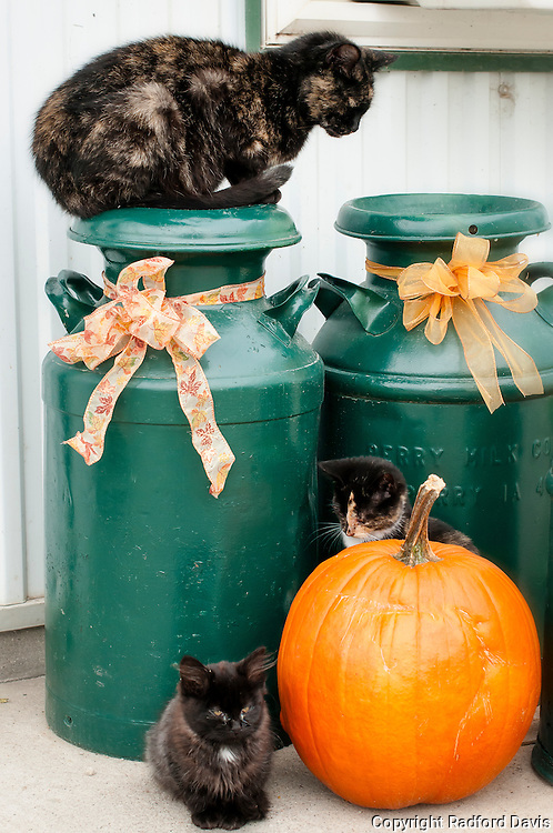 Dairy cats at Halloween time