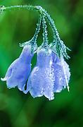 Alaska. Alaska Bluebells (Mertensia paniculata.).