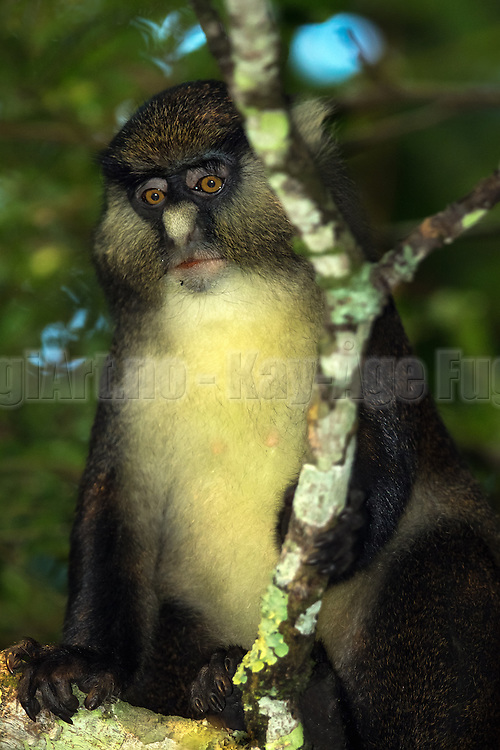 Dent's mona monkey (Cercopithecus denti) is an Old World monkey in the Cercopithecidae family. It is found in the Democratic Republic of the Congo, the Congo, Rwanda, western Uganda, and the Central African Republic. This wildlife picture is captured in Rwanda, Nyungwe february this year   Dent's mona monkey kan man finne i den Demokratiske Republikk av Kongo, Kongo, Rwanda, vest Uganda og den Sentralafrikanske Republikk. Dette bildet er tatt under en tur til Rwanda, Nyungwe i februar, og apekatten vill og ute i naturen.