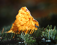 An Autumn leaf lands on the needles of a spruce tree.