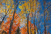 Deciduous trees in autumn colors. Gull Lake Road. Tower Lake.<br />Near Kenora<br />Ontario<br />Canada
