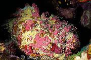 reef stonefish, Synanceia verrucosa, Steve's Bommie, near Agincourt, Great Barrier Reef, Australia ( Western Pacific Ocean )