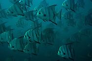 cyan spadefish school in Bahamas