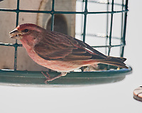 House Finch (Haemorhous mexicanus). Image taken with a Nikon D5 camera and 600 mm f/4 VR telephoto lens.