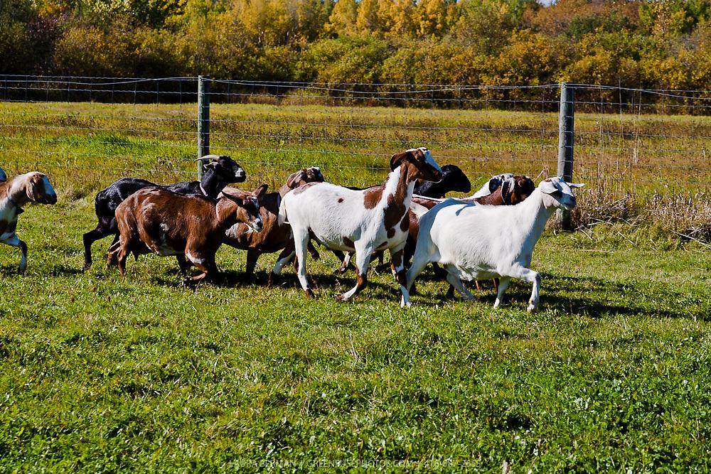 A herd of Nubian dairy goats running through the grass.