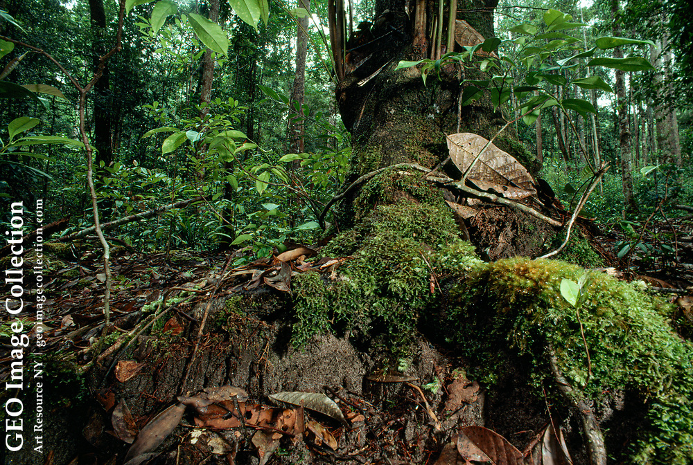 Moss covered shallow tree roots in an Indonesian rain forest.