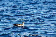 pink-footed shearwater, Ardenna creatopus or Puffinus creatopus, floating on the sea surface in the open ocean, offshore from southern Costa Rica, Central America ( Eastern Pacific Ocean )