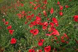 UK ENGLAND WILTSHIRE 26JUN08 - Wild Poppy plants near the river Kennet near Avesbury in rural Wiltshire, western England...jre/Photo by Jiri Rezac / WWF UK..© Jiri Rezac 2008..Contact: +44 (0) 7050 110 417.Mobile:  +44 (0) 7801 337 683.Office:  +44 (0) 20 8968 9635..Email:   jiri@jirirezac.com.Web:     www.jirirezac.com..© All images Jiri Rezac 2008 - All rights reserved.