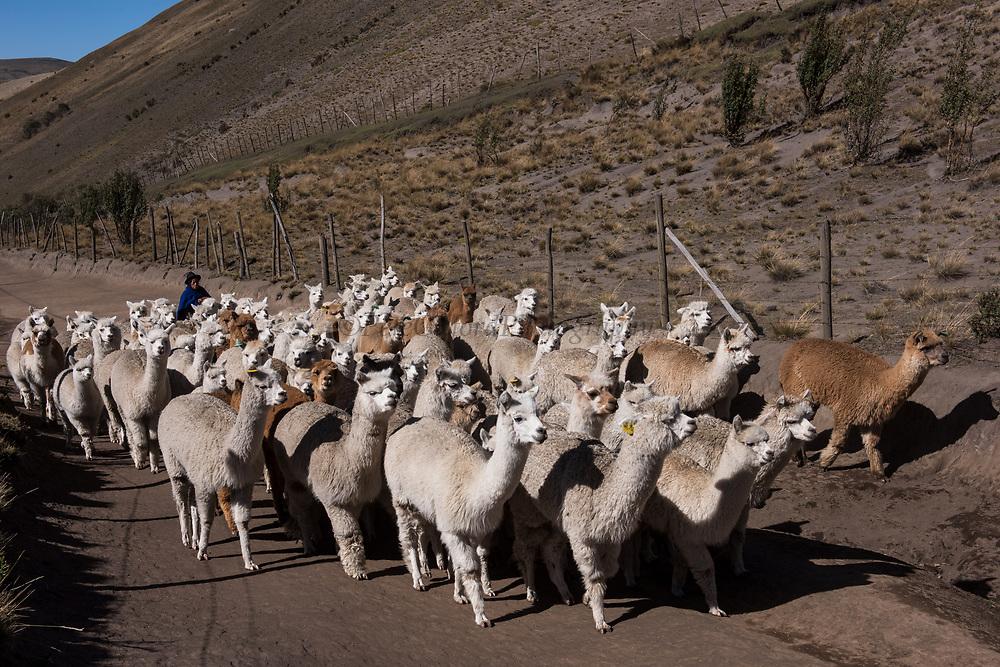Alpacas (Vicugna pacos) going to pasture<br /> Pulingue San Pablo community<br /> Chimborazo Province<br /> Andes<br /> ECUADOR, South America