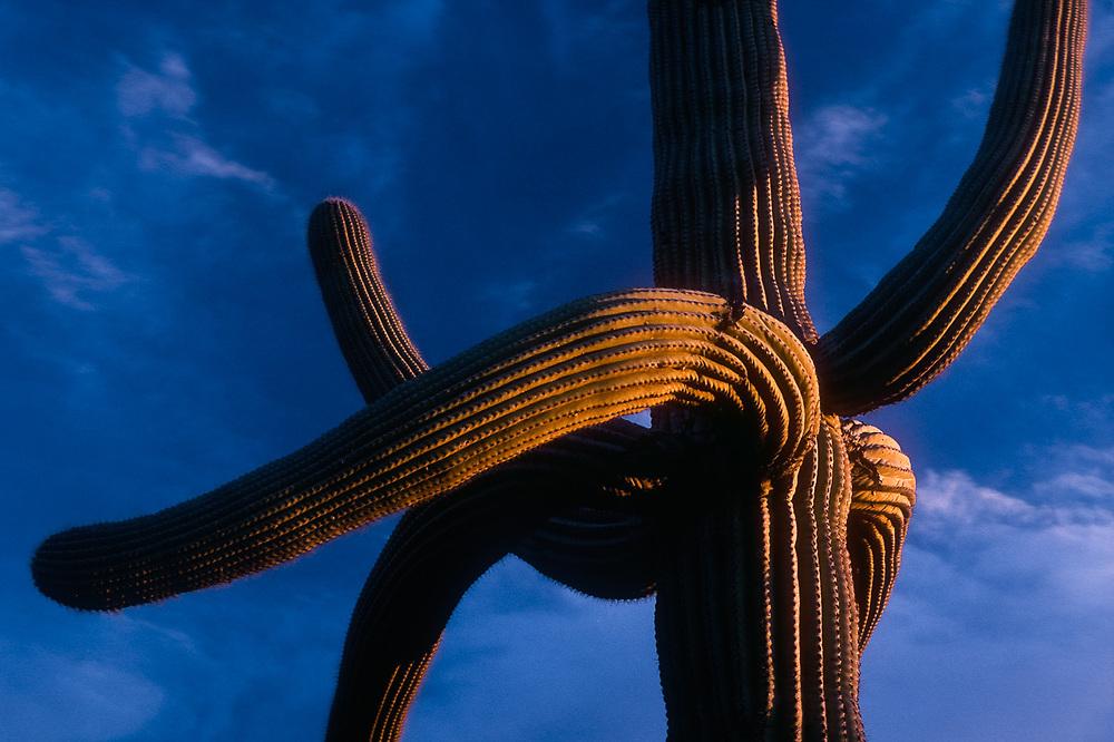Saguaro cactus, evening light, Saguaro National Park, Arizona, USA