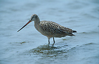 Marbled Godwit (Limosa fedoa), Carsland Provincial Park, Alberta, Canada   Photo: Peter Llewellyn