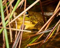 Kermit the Bullfrog. Image taken with a Nikon 1 V3 camera and 70-300 mm VR lens.