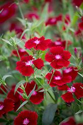 Dianthus barbatus 'Festival Deep Red' - Festival Series. Sweet William