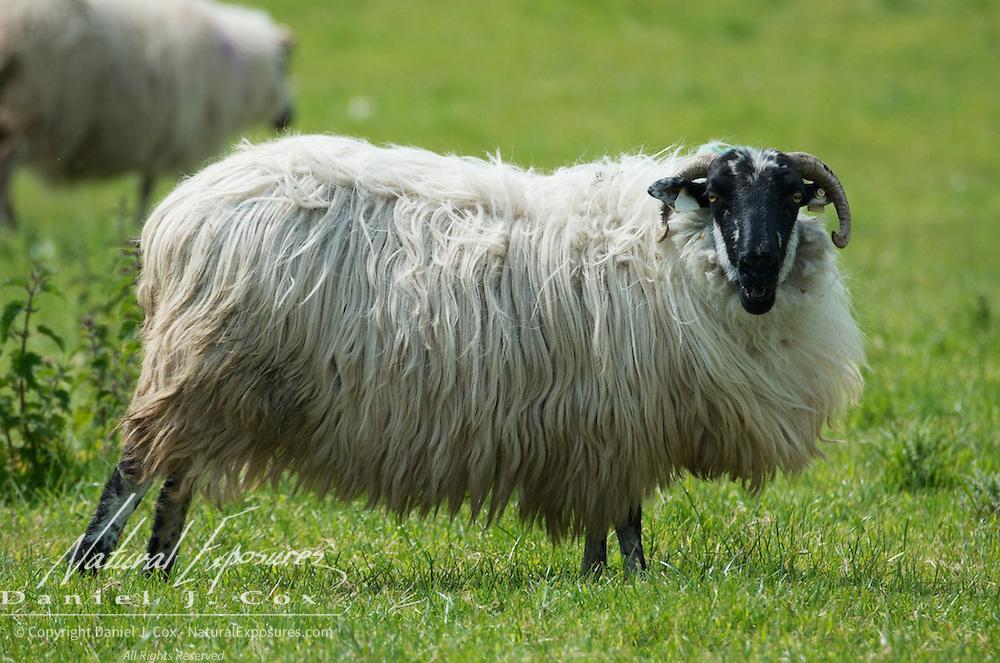 Sheep, Ireland